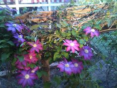 Clematis have an iridescent look this spring.