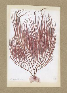 Seaweed specimens