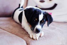 Bølle on the couch. Danish Swedish Farmdog.