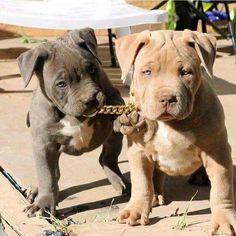 "( pitbull puppies , "" remy | dark && bowser | light "" )"