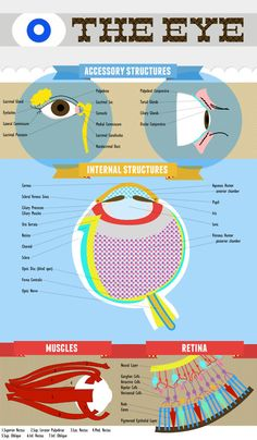 made this eye anatomy chart as a 'study method' for my anatomy and physiology class.
