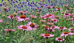 echinacea and echinops