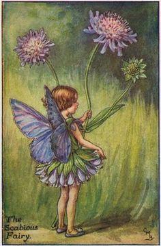 Scabious fairy.