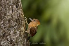 Banded Woodpecker (Picus miniaceus) | Flickr - Photo Sharing!