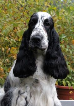 Black and White English cocker spaniel.