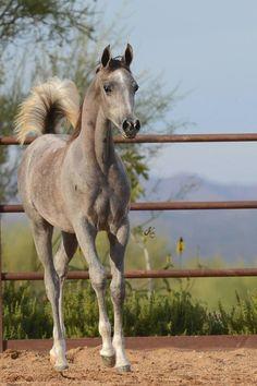 Khalif SWF :: Arabian Horses of Stonewall Farm White Arabian Horse, Beautiful Arabian Horses, Majestic Horse, Cute Baby Horses, Pretty Horses, Appaloosa Horses, Friesian Horse, Andalusian Horse, Largest Horse Breed