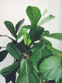 fiddle leaf