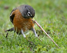 An American robin struggles to pull a large juicy worm from the ground in Roseburg, Oregon, America...