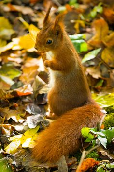 Squirrel in beautiful Fall leaves.