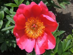 Paeonia lactiflora Fen Yu Nu. http://www.elhogarnatural.com/Bulbosas.htm