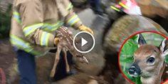 Vidéo : Les pompiers sauvent la vie d'un faon piégé sous des rochers