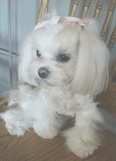 Teacup Puppies, Cute Puppies, Cute Dogs, Dogs And Puppies, Doggies, Teacup Maltese, Beautiful Little Girls, Beautiful Dogs, Vida Animal