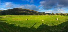Las ovejas pastando en los prados: el paisaje típico de Irlanda