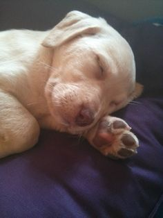 Sleeping Lab Puppy - http://puppypicturesplease.com/sleeping-lab-puppy/ #cute #dogs #animals #babies