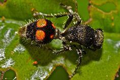 Velvet ant (Mutiliidae)