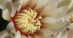 Gimnocalycium quehlianum - Adriana Celli - Álbumes web de Picasa