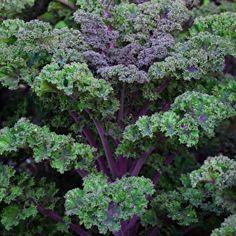 Kale 'Curly Scarlet'
