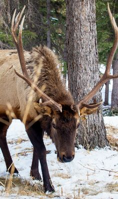 Close encounter with a Bull Elk    (like 3 feet away)
