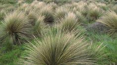 Native Australian Tussock Grass (indigenous varieties in VIC) - Poa poiformis (& poa morrisii? Bush Garden, Meadow Garden, Forest Garden, Terrace Garden, Garden Grass, Rain Garden, Australian Native Garden, Australian Plants, House Landscape