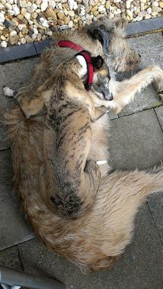 Whippets + wolfhounds, a buddy system made in heaven
