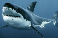 Underwater Creatures, Underwater Life, Ocean Creatures, Shark Pictures, Shark Photos, Megalodon, Orcas, Shark Jaws, Whale Sharks