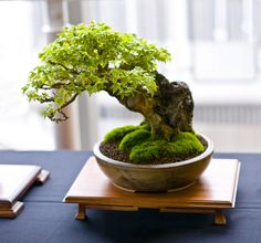 Trident Maple Bonsai Tree (Acer buergerianum), Root Over Rock Style at Don Valley Bonsai Roadshow, Sheffield | Flickr - Photo Sharing!