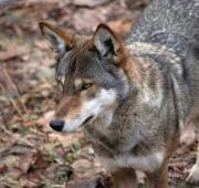 Red Wolf.  The red wolf is a medium sized species of wolf, found in the coastal marshlands of southern parts of eastern North America. By the 1970s the pure red wolf was thought to be extinct in the wild, but a population has since been reintroduced in North Carolina that is said to now be up to 100 red wolf individuals.