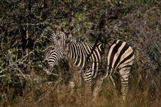 Zebra grazing around Eden Safari Country House Wild Life, Safari, Country, House, Animals, Animales, Rural Area, Home, Animaux