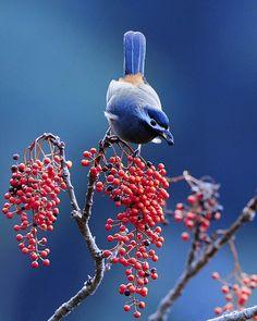 Cherry Wood - チェリー ウッド: Oiseaux du Paradis by Sushyue Liao