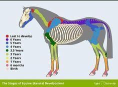 Horse Bones, Male Horse, Horse Riding Quotes, Horse Anatomy, Horse Facts, Pony Horse, Horse Tips, Horse Training, Horse Care