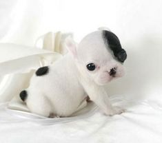 I just want to put this little guy in my pocket and carry him around all day -french bulldog puppy