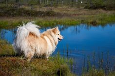 Finnish Lapphund - Finnish Lapphund in the swamp. Photo taken in Finland.