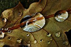 Rain water collected on a leaf. —© 2012 Kaitlin Kelly / Nikon D70 + 60mm lens