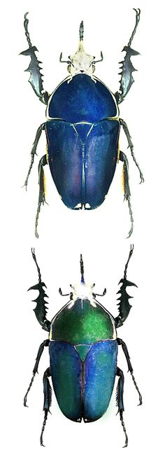 Mecynorrhina ugandensis, various forms.