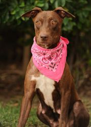 DAKOTA *URGENT* is an adoptable Doberman Pinscher Dog in San Pedro, CA.   Meet Dakota! Dakota is a lovely young beauty with a gorgeous chocolate coat that really glimmers in the sun. Dakota came to th...Dobies are sugar sweet, regal, stately and just beautiful! Please pass this information along!!!!    http://www.petfinder.com/petdetail/24369643