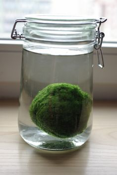 Giant Marimo by Patricia In a Jar via flickriver: Marimo is a green algae found in lakes in Iceland, Scotland, Janan and Estonia which grows in velvety green balls which sit on the lake floor. http://en.wikipedia.org/wiki/Marimo  #Marimo #Algae #Plants #Patricia_in_a_jar
