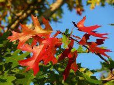 Autumn oak leaves. #healthytreefrog