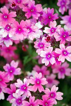 Pretty Pink Verbena