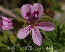 Aρμπαρόριζα – Pelargonium graveolens