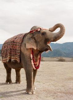 "Indian elephant ""elephas maximus indicus, dressed for a festival Asian Elephant, Elephant Love, Elephant Art, Happy Elephant, Elephant India, Beautiful Creatures, Animals Beautiful, Cute Animals, Wild Animals"