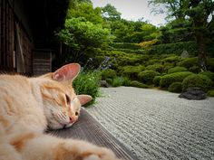 金福寺のお昼寝猫(京都) a cat napping in Konpuku-ji temple, Kyoto, Japan