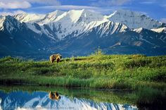 Grizzly bear and mountain reflection