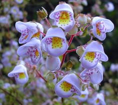 Jovellana violacea is an unusual rarity from Chile. The fingernail-sized blooms are light-violet with festive markings of purple, yellow & red, with no two flowers having the same pattern. The leaves have a nice minty-spicy aroma when rubbed.
