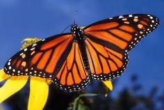 monarch butterfly art - Google Search