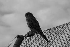 bird on fence Zurich, Parrot, Fence, Bird, Animals, Parrot Bird, Animales, Animaux, Birds