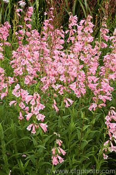 Penstemon 'Hidcote Pink', one of the many hybrid penstemons, it is long-flowering and will grow to around high, eventually forming quite a large clump. More Penstemon Photos. Pink Perennials, Garden Catalogs, Long Flowers, Pink Photo, Wisteria, My Flower, Pink Garden, Patio, Wimbledon
