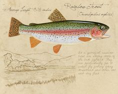 Rainbow Trout - 8x10 inch limited edition print by Matt Patterson, trout print, fishing art print, natural history, cabin decor