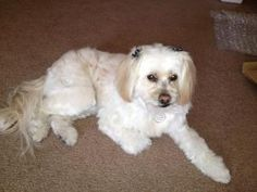 Amee is an adoptable Lhasa Apso Dog in Las Vegas, NV. Amee is a 4 yr. old female Lhasa Apso/Shih Tzu mix who loves to cuddle & play. She is potty trained, up to date on shots, micro chipped, spayed, l...