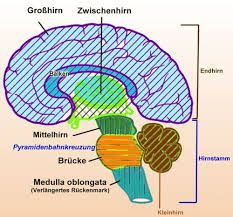 75 best Gehirn images on Pinterest   Neurons, Human body and ...