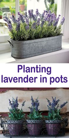 Planting lavender in pots Due to its healing properties lavender are grown since ancient times when was used in the treatment of insomnia and digestive problems. Lavender can be cultivate in the garden or on the balcony and even on the windows in the pot. Indoor Garden, Garden Pots, Indoor Plants, Potted Garden, Indoor Lavender Plant, Planting Lavender Outdoors, Lavender Plant Uses, Growing Lavender Indoors, Lavender Planters